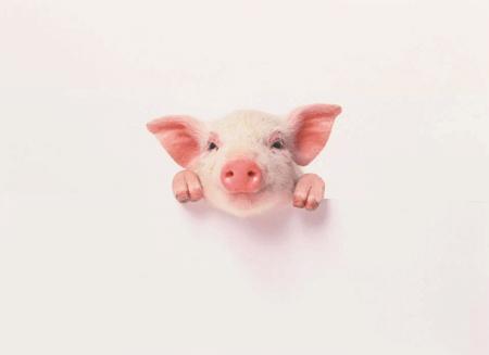 听着很科幻,机器人帮猪修复受损食道