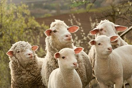 物联网传感器帮助及早发现羊跛脚
