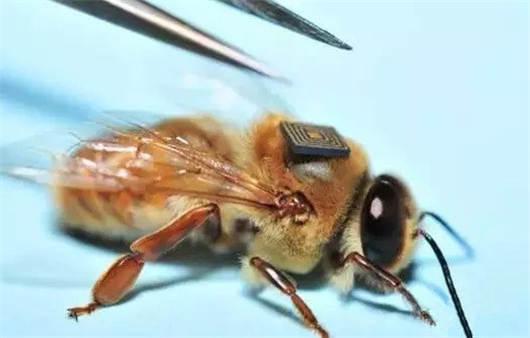 利用微型传感器调查蜜蜂大量死亡的原因