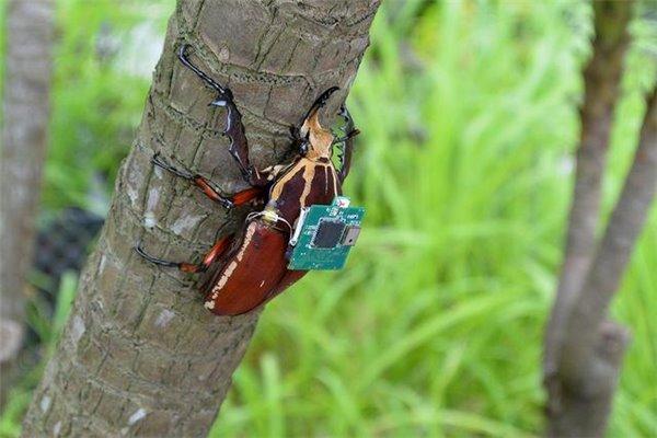 """活甲虫背上这个""""背包"""",人类就能控制它了"""