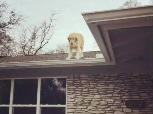 喂!喂!你是狗还是猴儿?金毛喜欢上房顶的感觉