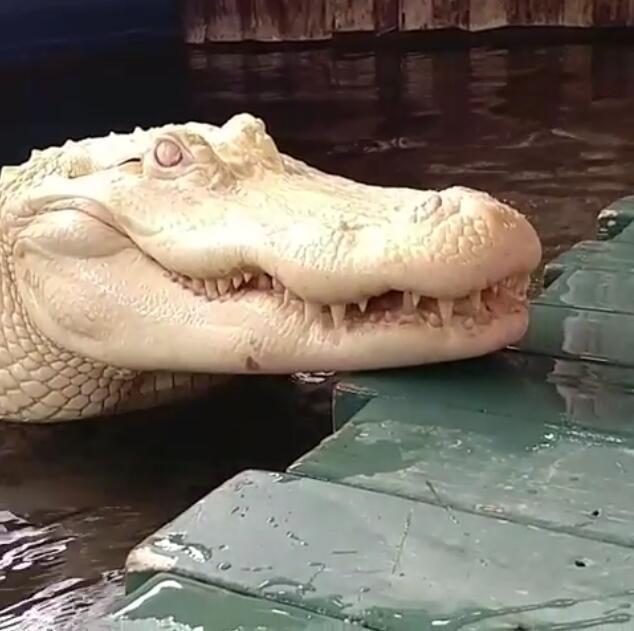 这不是雕像!请勿靠近!极罕见纯白鳄鱼