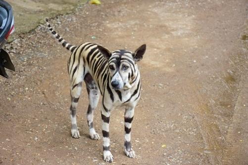 """泰国女孩把爱犬涂上了老虎的花纹,其他宠物纷纷""""望风而逃"""""""