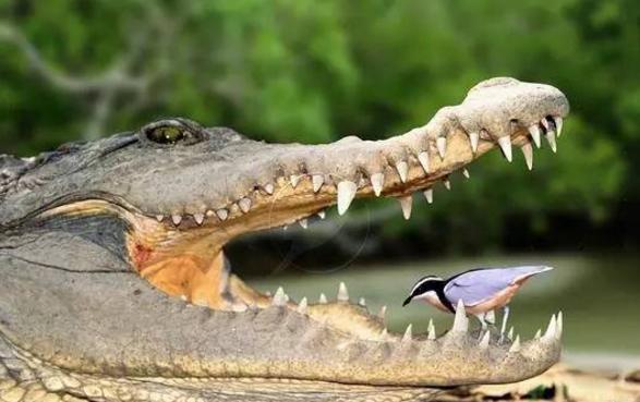 """毁童年!给鳄鱼""""剔牙""""的鸟,真的存在吗?"""
