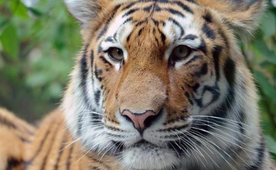老生常谈:科学分析狮虎斗谁能胜出?