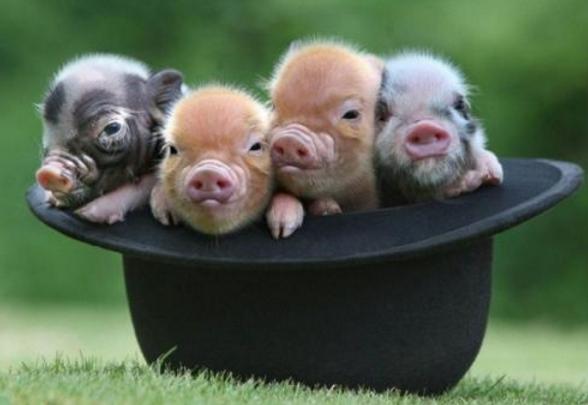 首富的脑回路超乎你的想象,马云竟然开始养猪了?